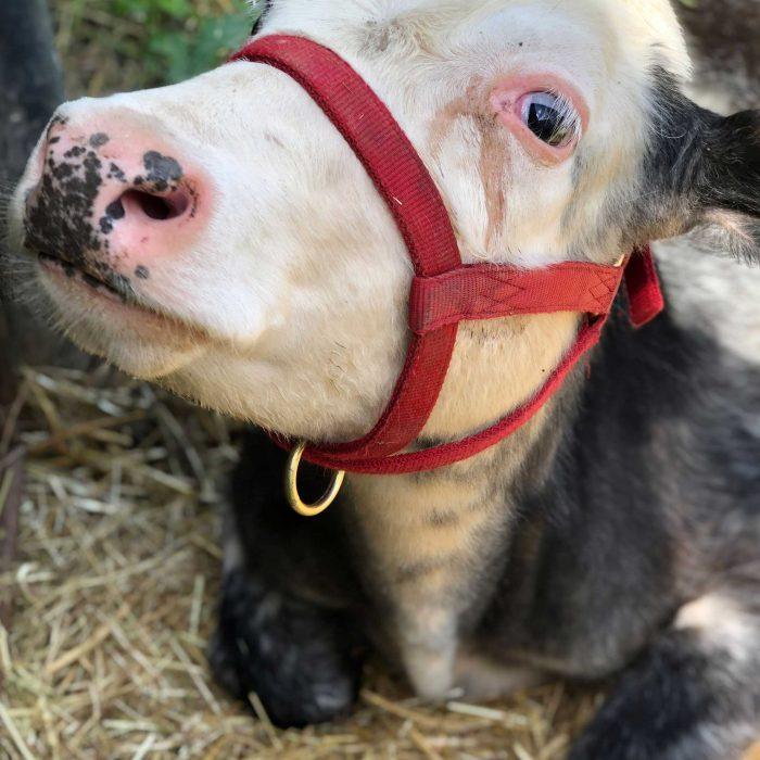 Nero the cow at FARS