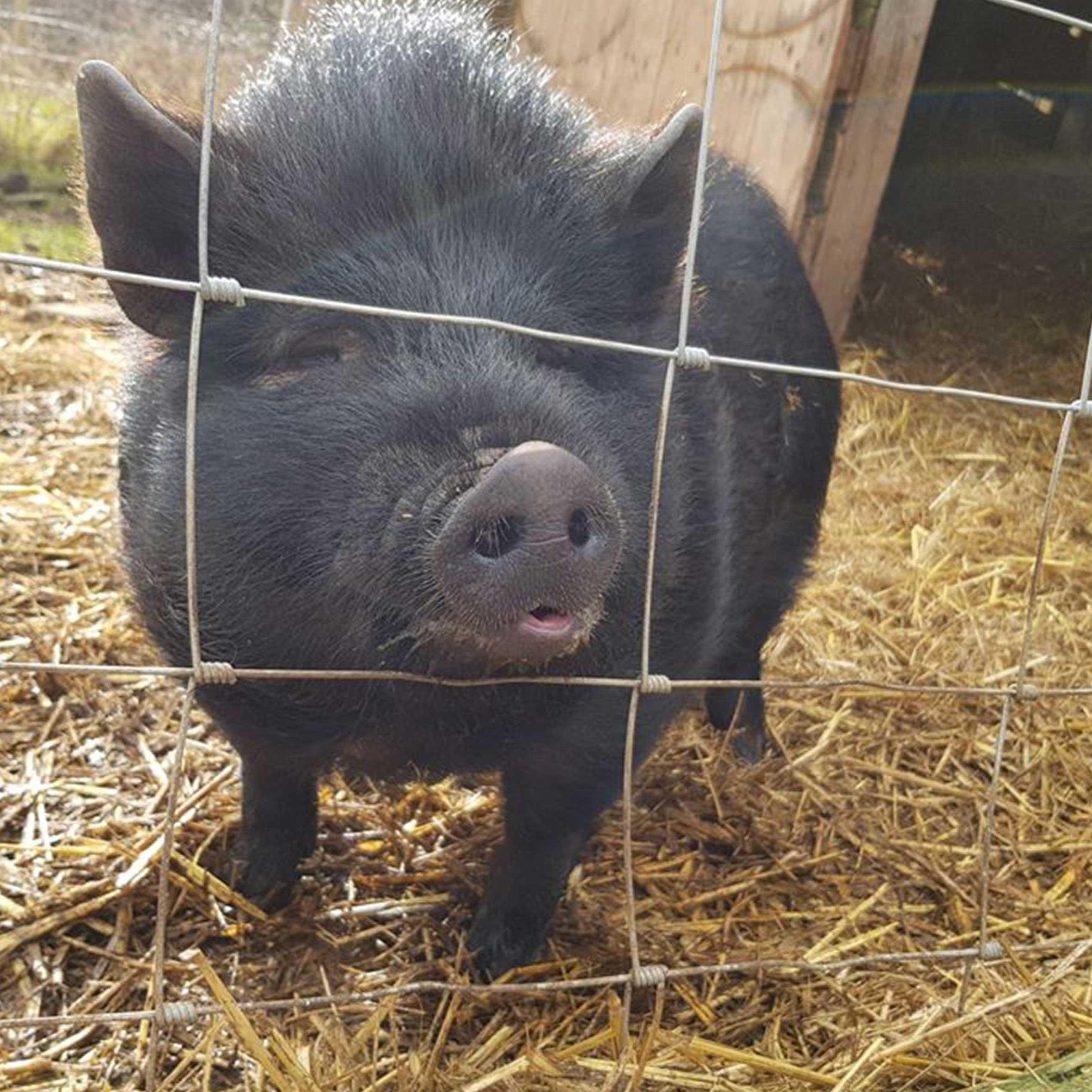TOBY the Pig at FARS