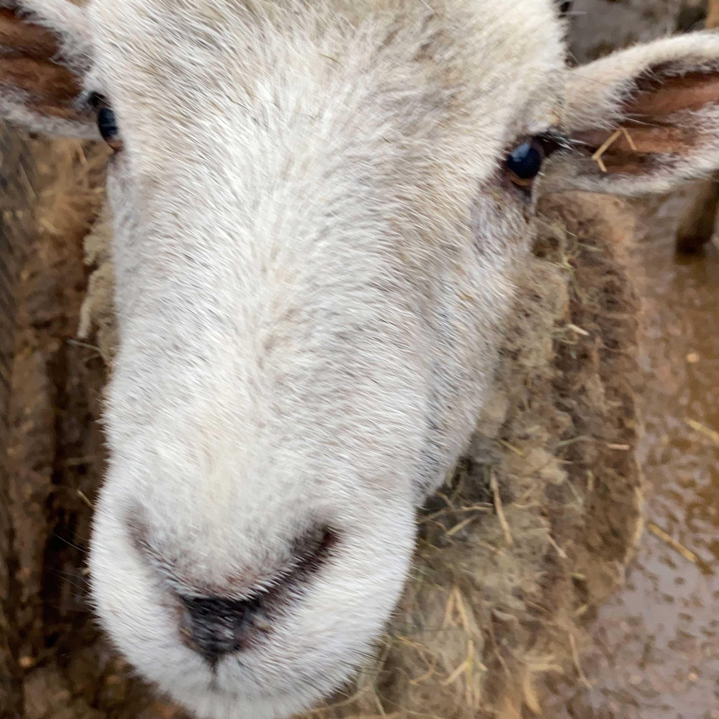 MERRICK the sheep at FARS