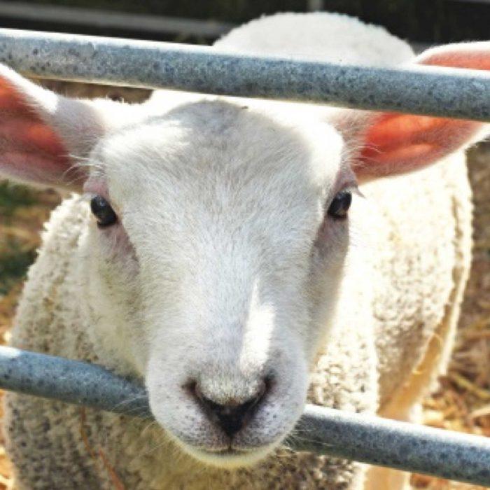 JIMMY the sheep at FARS