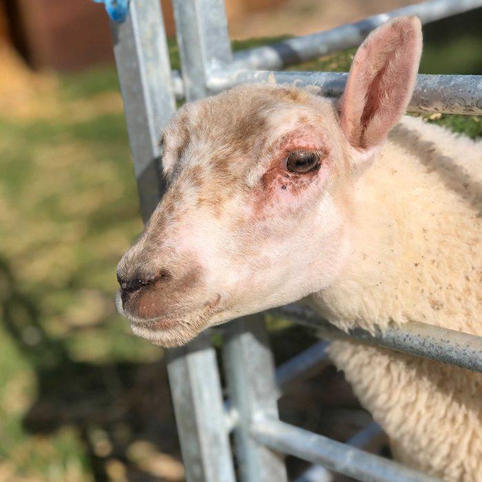 RUBY the sheep at FARS