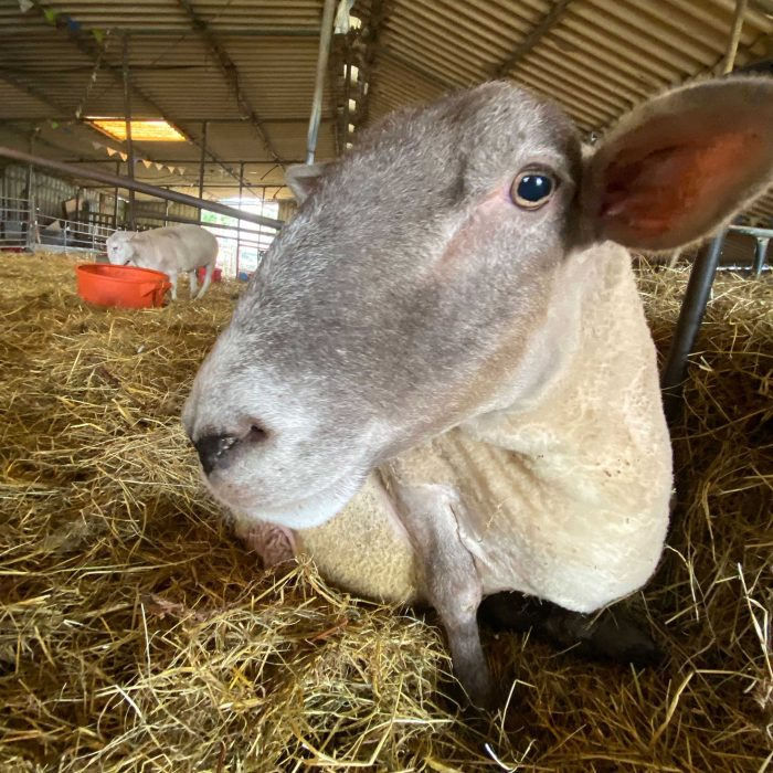 RODNEY the sheep at FARS
