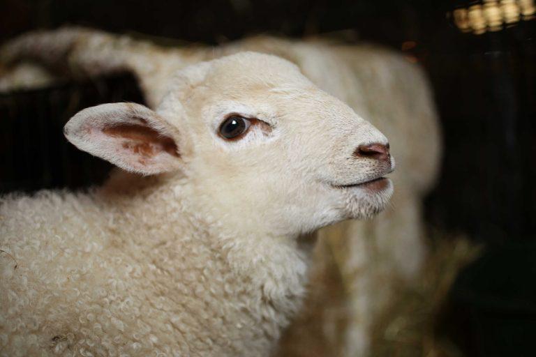 Little lamb at FARS