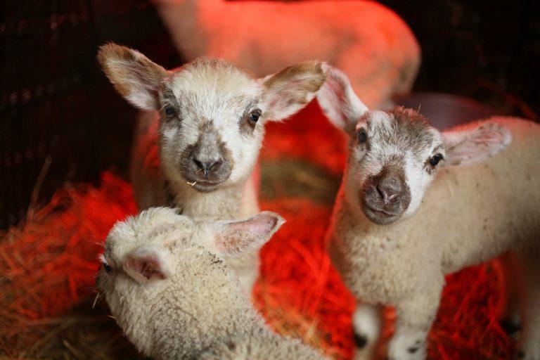 3 lambs at FARS