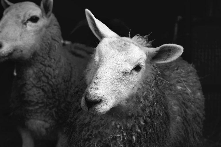 Lambs at FARS