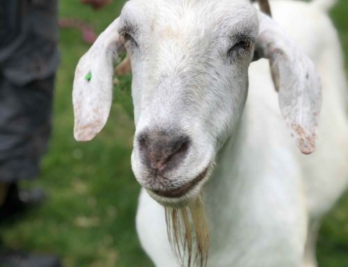 Marigold is a delightful Anglo Nubian goat
