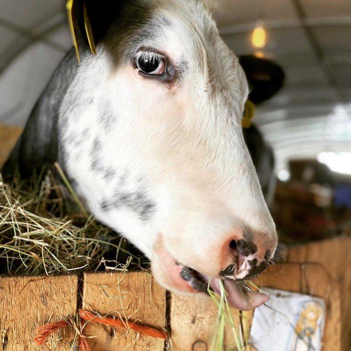 NERO munching on hay