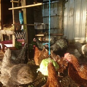 Chickens new home