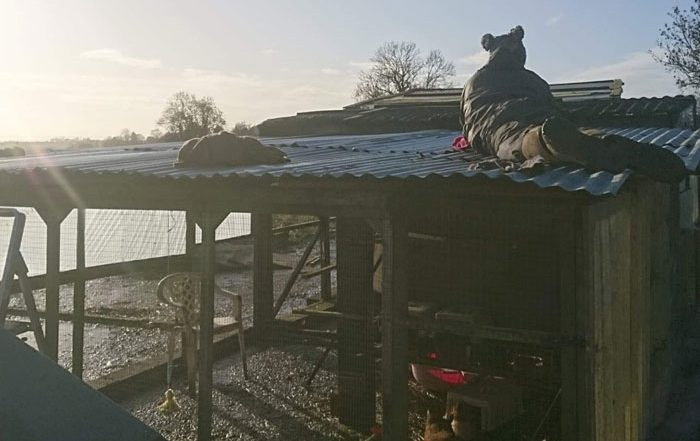 Volunteer working on the roof of the new chicken pen