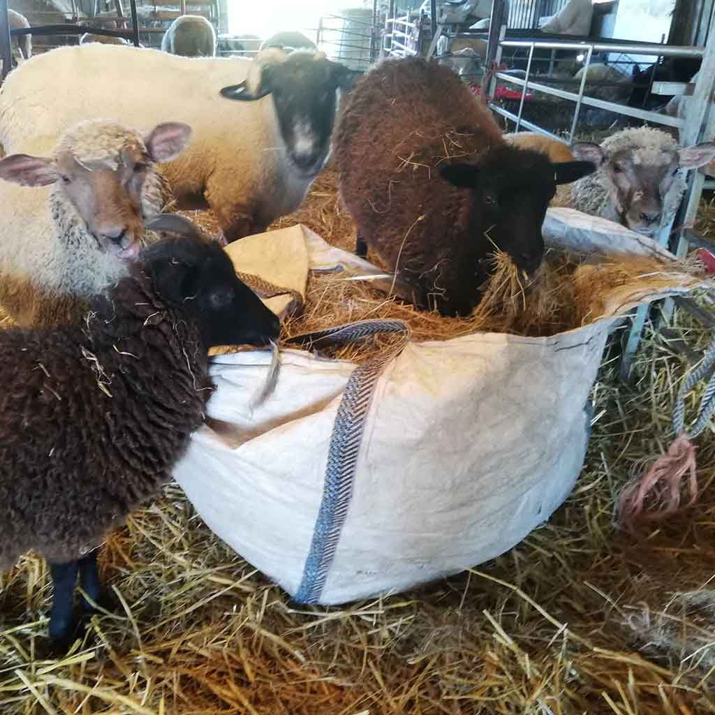Resident sheep in the hay bag